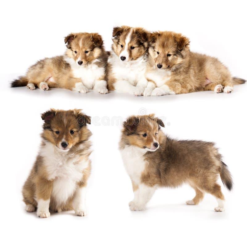 Cuccioli di Sheltie immagini stock