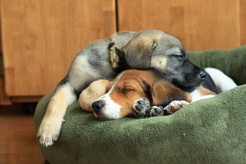 Cuccioli di sonno immagini stock