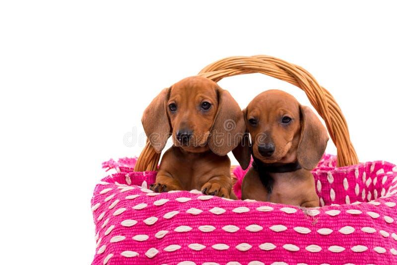 Cuccioli di Teckel fotografia stock