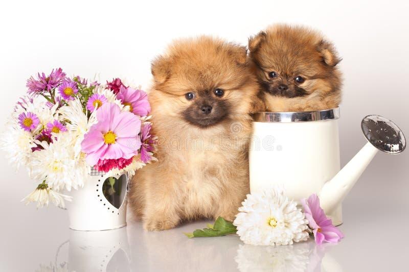 Cuccioli e fiori dello Spitz immagine stock