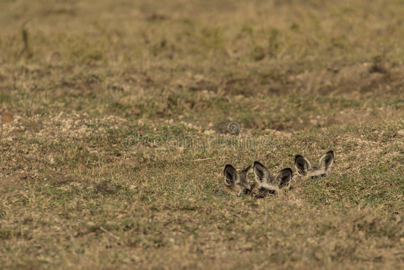 Cuccioli Eared di Fox del pipistrello in tana immagine stock libera da diritti