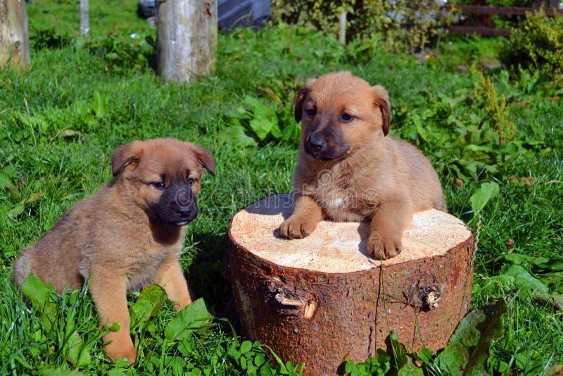 Cuccioli gemellati svegli immagine stock