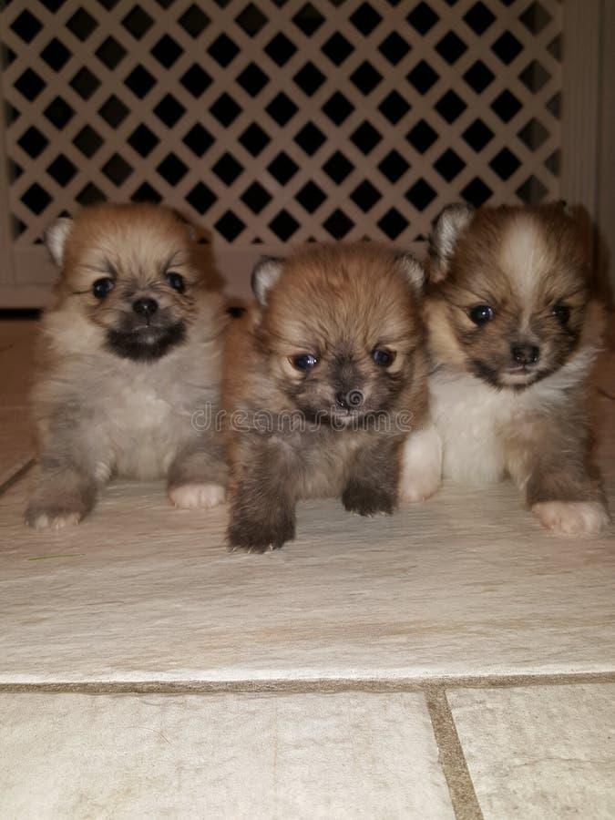 Cuccioli lanuginosi fotografia stock