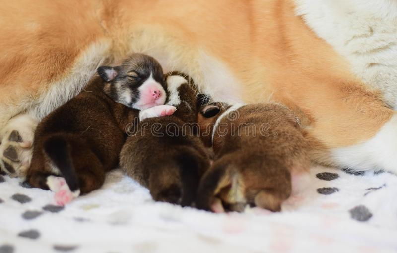 Cuccioli neonati del pembroke del corgi di lingua gallese con il loro cane della madre che prende cura loro fotografia stock libera da diritti