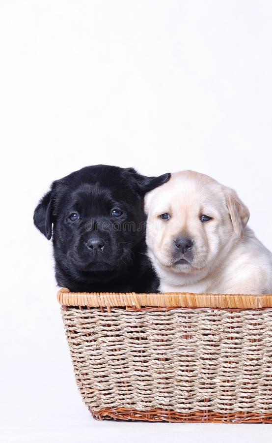 Cuccioli neri & bianchi immagini stock