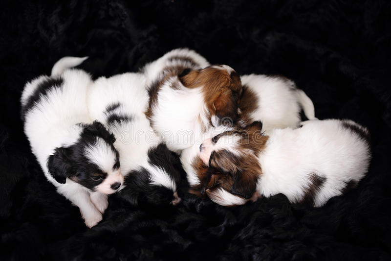 Cuccioli Papillon che dorme sulla pelliccia immagine stock libera da diritti