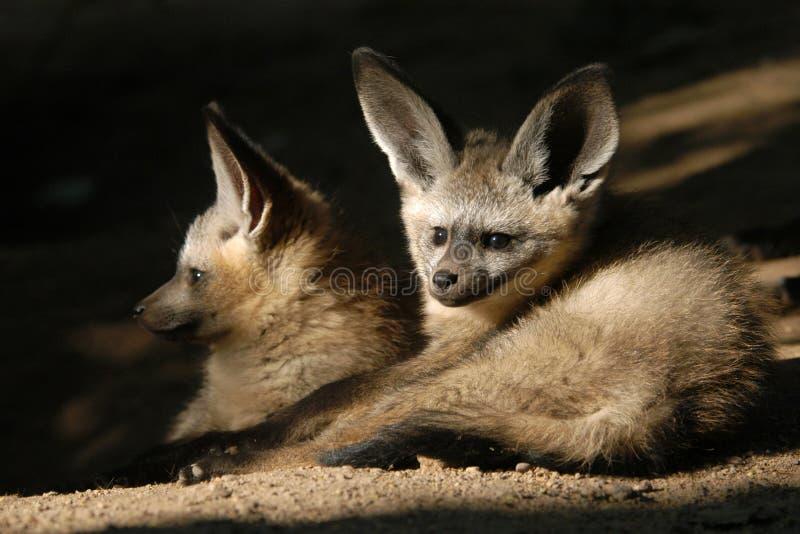 cuccioli Pipistrello-eared della volpe fotografia stock libera da diritti