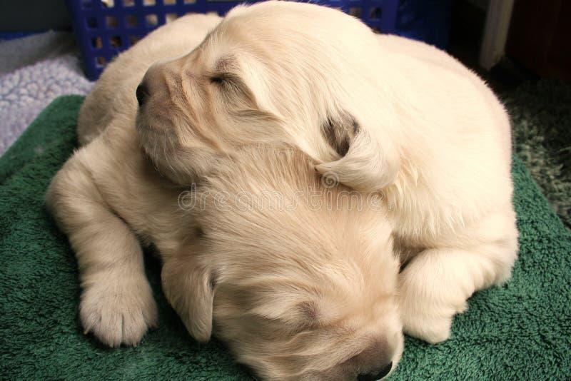 Cuccioli Snuggling fotografie stock
