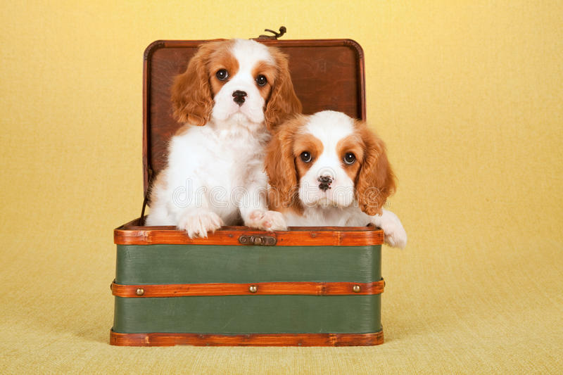 Cuccioli sprezzanti di re Charles Spaniel che si siedono dentro i bagagli verdi della valigia fotografia stock libera da diritti