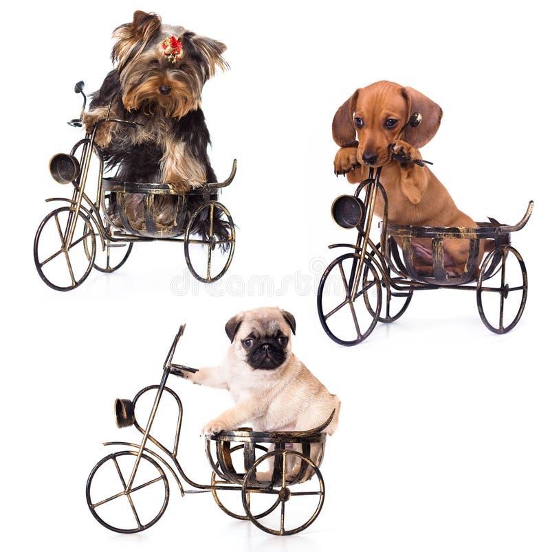 Cuccioli su una bicicletta fotografia stock