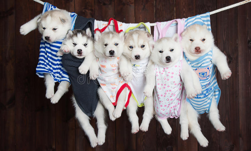 Cuccioli svegli del husky, su un fondo fotografia stock