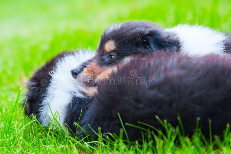 Cuccioli svegli delle collie fotografia stock