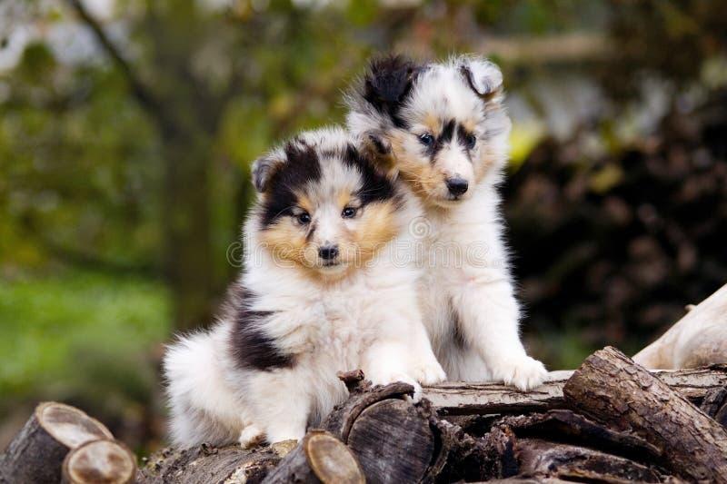 Cuccioli svegli di Sheltie che si siedono insieme ai ceppi immagine stock