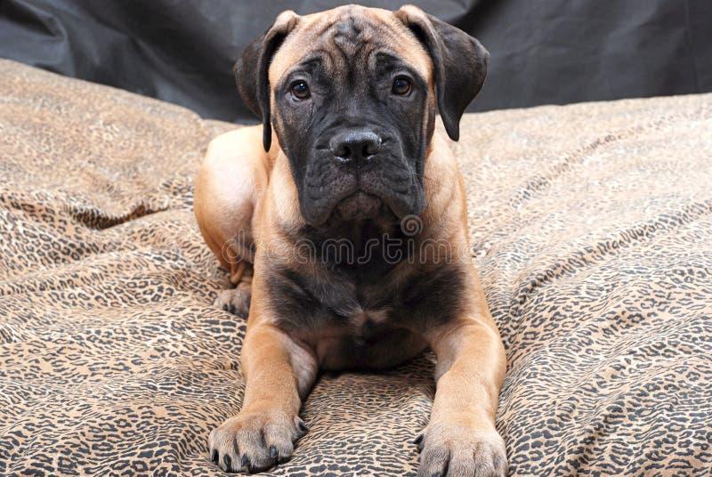 Cucciolo 60 di Bullmastiff fotografia stock libera da diritti