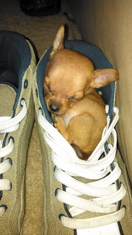 Cucciolo addormentato in scarpa immagini stock