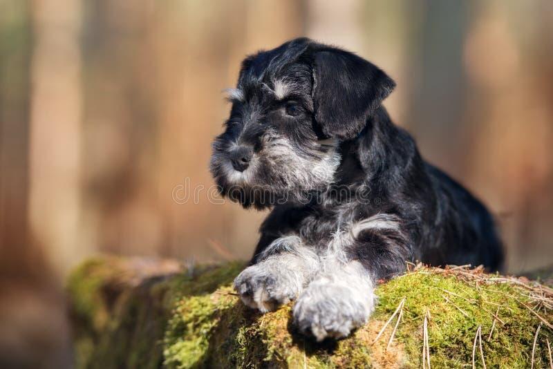 Cucciolo adorabile dello schnauzer all'aperto immagine stock