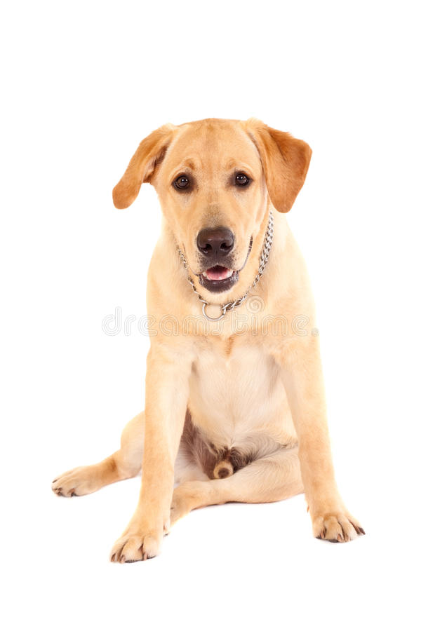 Cucciolo alesato del labrador immagine stock