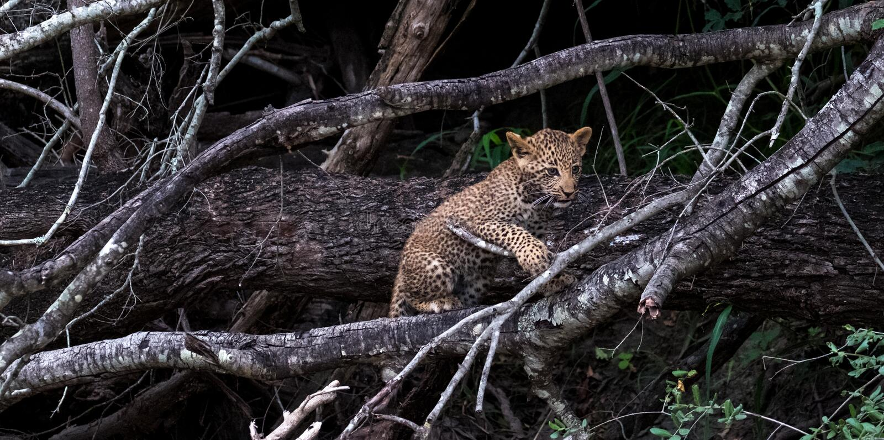 Cucciolo allegro del leopardo che scala un albero nel parco di safari di Sabi Sands, Kruger, Sudafrica immagine stock libera da diritti