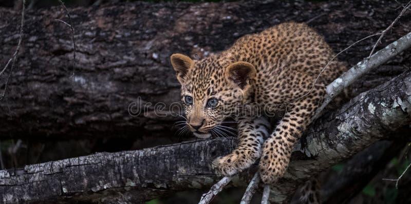 Cucciolo allegro del leopardo che scala un albero nel parco di safari di Sabi Sands, Kruger, Sudafrica fotografia stock libera da diritti