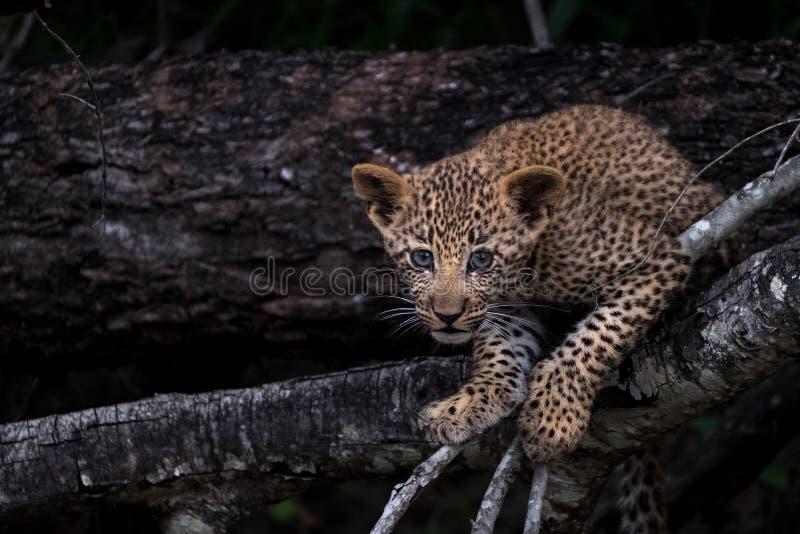Cucciolo allegro del leopardo che scala un albero nel parco di safari di Sabi Sands, Kruger, Sudafrica fotografia stock