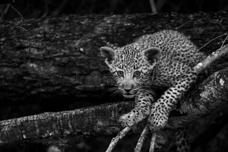 Cucciolo allegro del leopardo che scala un albero nel parco di safari di Sabi Sands, Kruger, Sudafrica fotografie stock