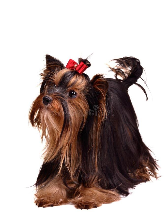 Cucciolo allegro del Terrier di Yorkshire immagine stock