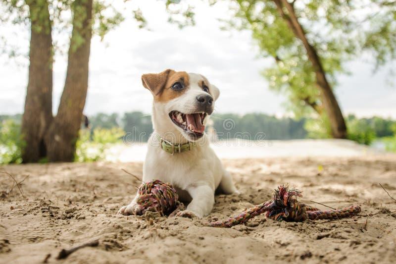 Cucciolo allegro e sveglio di Jack Russell Terrier che gioca con una corda sulla spiaggia immagine stock libera da diritti
