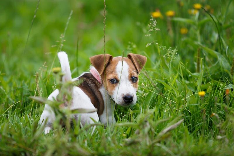Cucciolo allegro Jack Russell Terrier fotografia stock libera da diritti