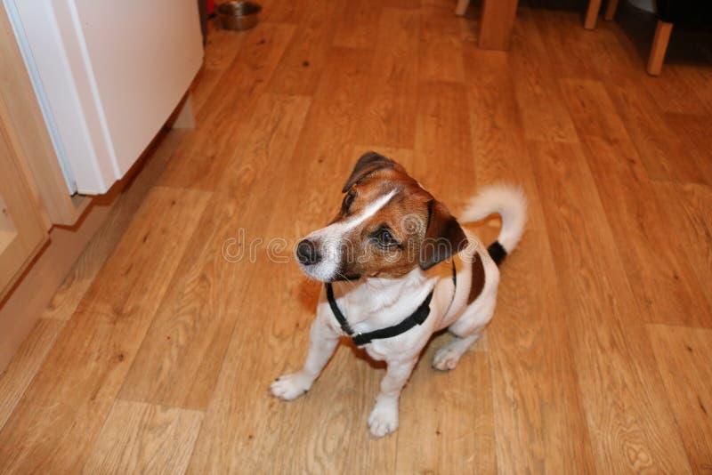 Cucciolo aspettante per gli ossequi fotografia stock libera da diritti