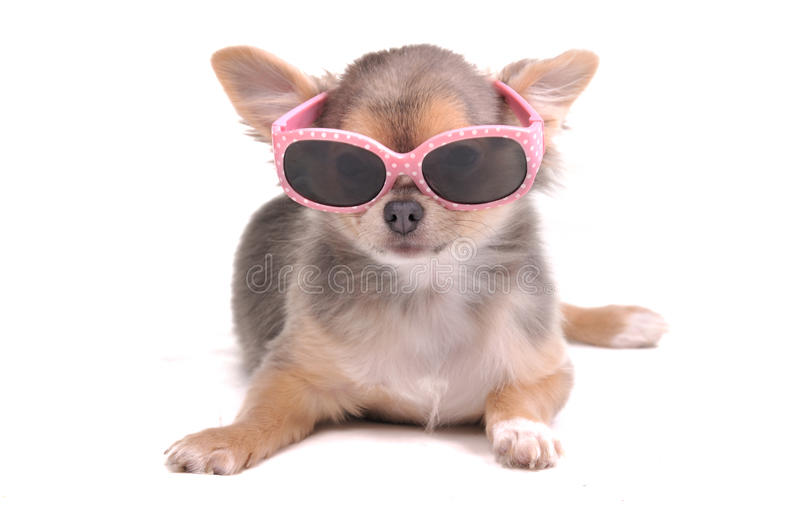 Cucciolo astuto della chihuahua che porta i vetri di Sun fotografia stock libera da diritti