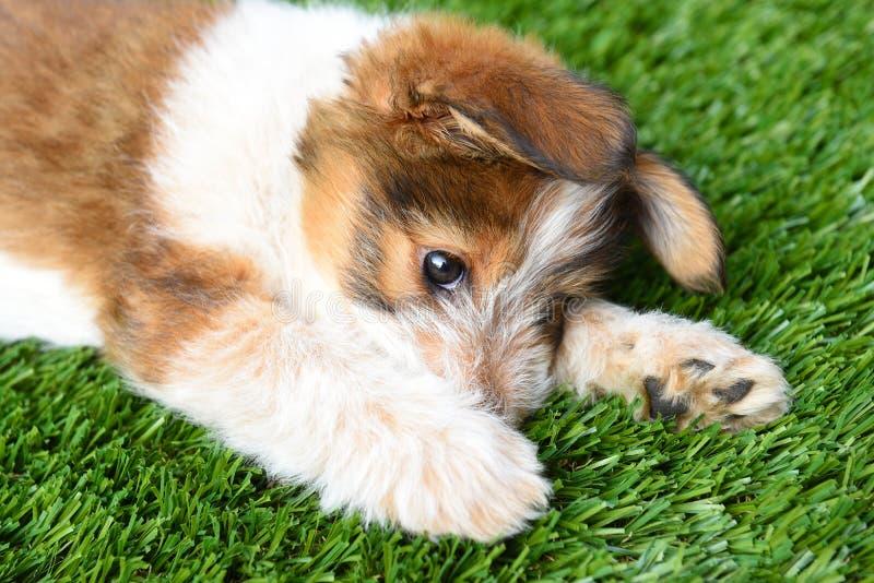 Cucciolo australiano del pastore fotografie stock