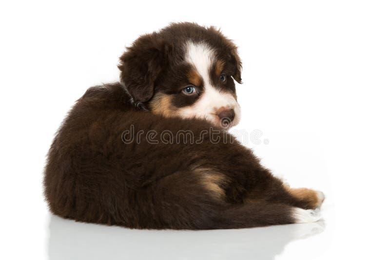 Cucciolo australiano del pastore isolato su bianco immagini stock libere da diritti