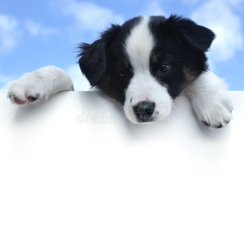 Cucciolo australiano del pastore sopra un segno in bianco fotografia stock libera da diritti