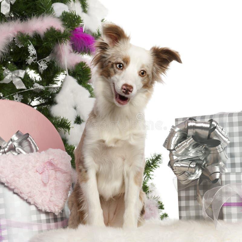 Cucciolo australiano miniatura del pastore, 1 anno fotografia stock libera da diritti