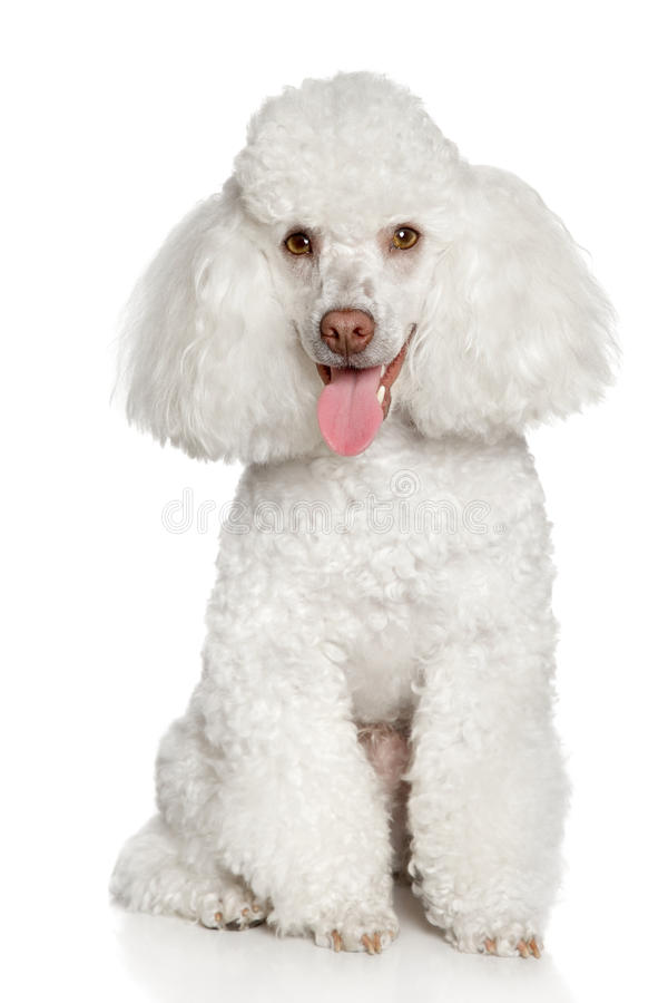 Cucciolo bianco del barboncino. Isolato su una priorità bassa bianca immagine stock