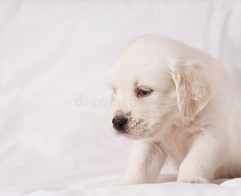 Cucciolo bianco del documentalista su fondo bianco