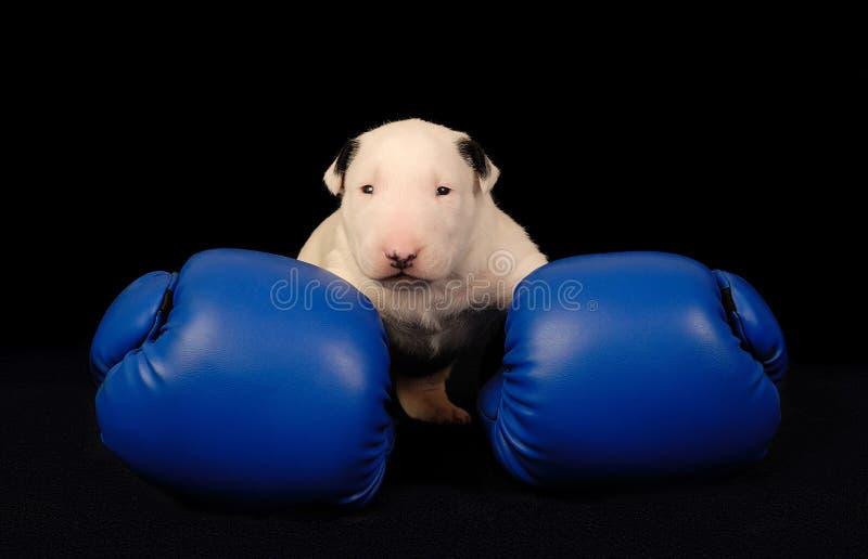 Cucciolo bianco di bull terrier in guantoni da pugile sopra il nero immagine stock libera da diritti