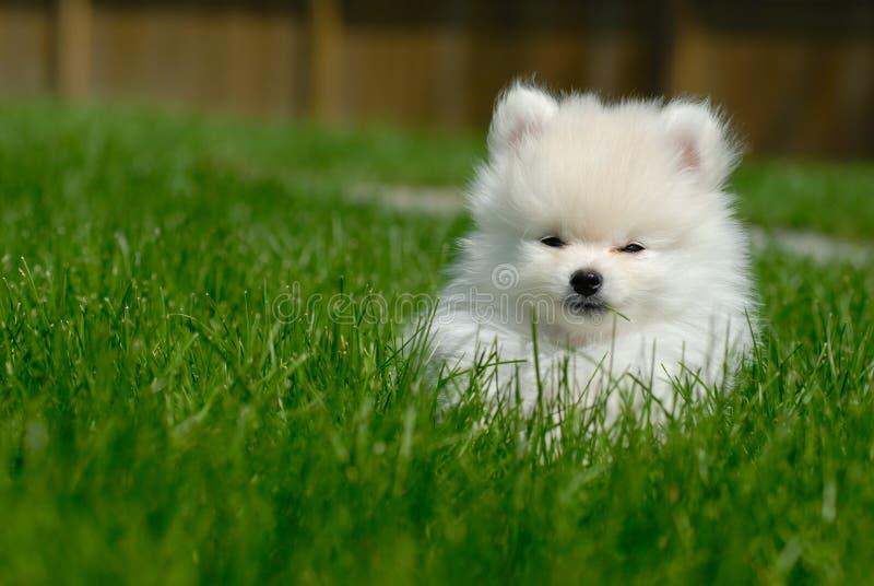 Cucciolo bianco di Pomeranian su prato inglese immagini stock libere da diritti