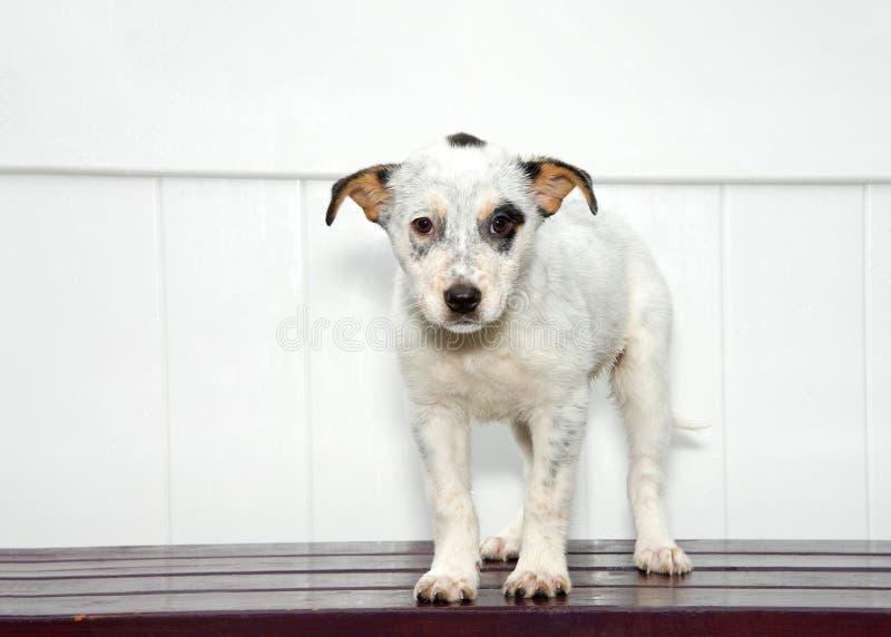 Cucciolo bianco e nero triste che sta sulla piattaforma di legno scura, fondo bianco del recinto immagini stock libere da diritti