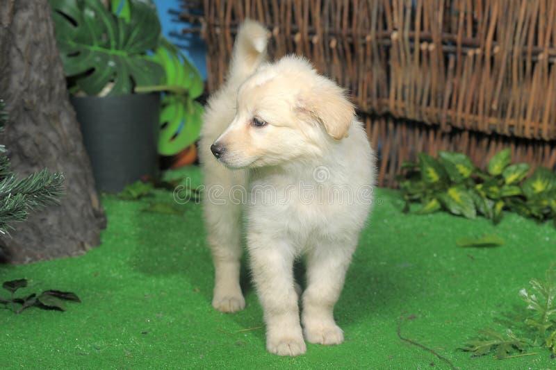 Cucciolo bianco sveglio fotografia stock