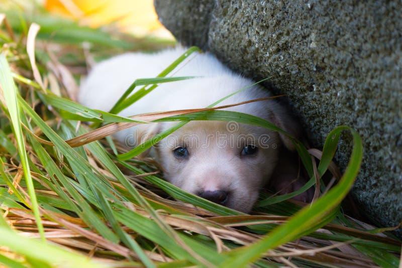 Cucciolo bianco triste che si trova nell'erba vicino alla pietra Piccolo cane sveglio che esamina macchina fotografica Fine adora immagini stock