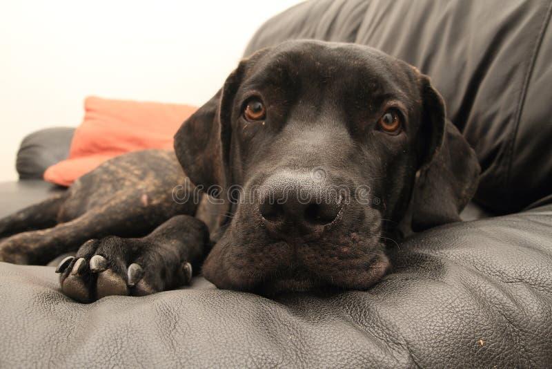 Cucciolo brasiliano nero del mastino sul sofà immagini stock libere da diritti