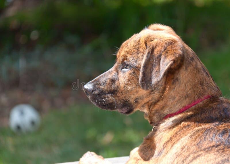 Cucciolo Brindled del segugio di Plott fotografie stock libere da diritti
