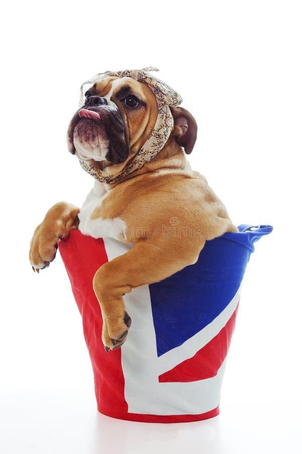 Cucciolo britannico del bulldog fotografia stock libera da diritti