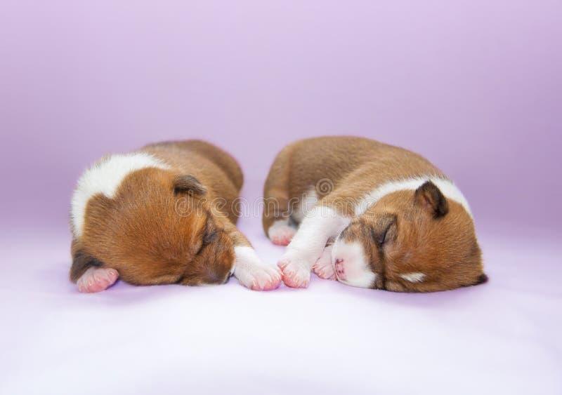 Cucciolo che dorme sul letto fotografia stock