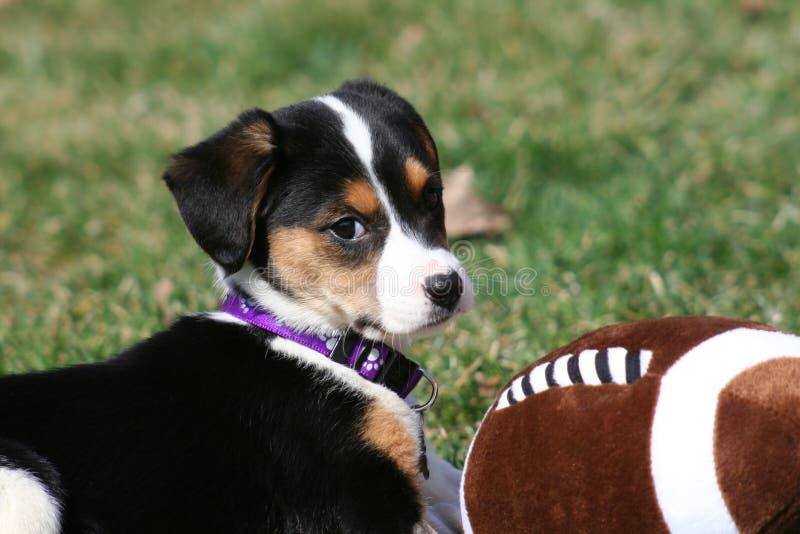 Cucciolo che gioca con il gioco del calcio fotografie stock