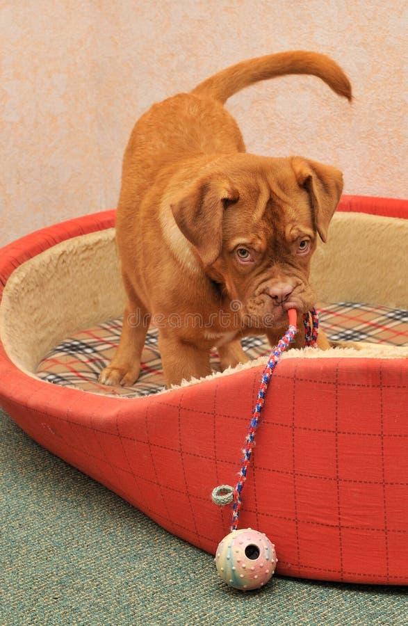 Cucciolo che gioca con un giocattolo fotografie stock libere da diritti