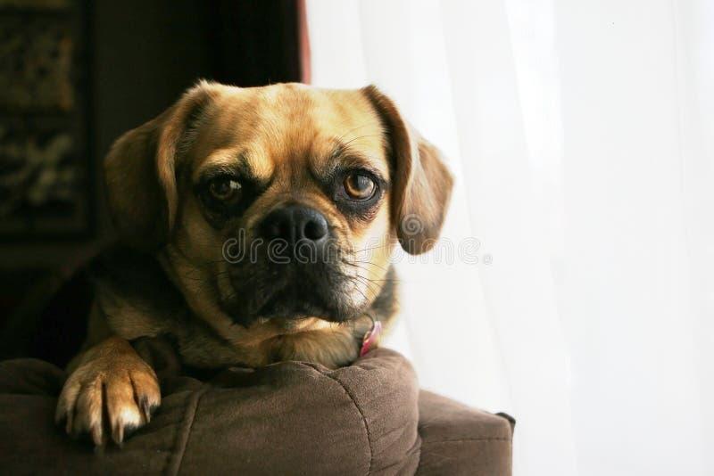 Cucciolo che guarda la macchina fotografica immagini stock libere da diritti