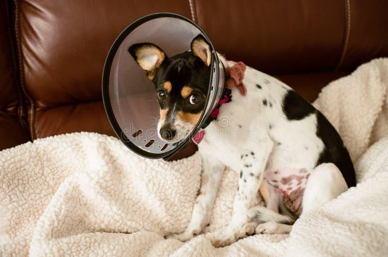 Cucciolo che indossa un chiaro cono del collare di cane di vergogna fotografia stock