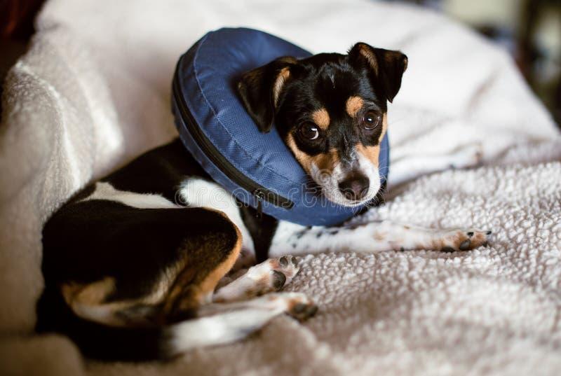 Cucciolo che indossa un cono blu di esplosione del collare di cane di vergogna immagini stock libere da diritti